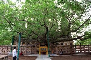 mahabodhi tree bodhgaya india
