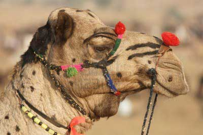 Puskar Camel Fair in Rajasthan India
