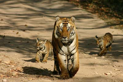 Wildlife Tour for Jim Corbett in Uttarakhand, India
